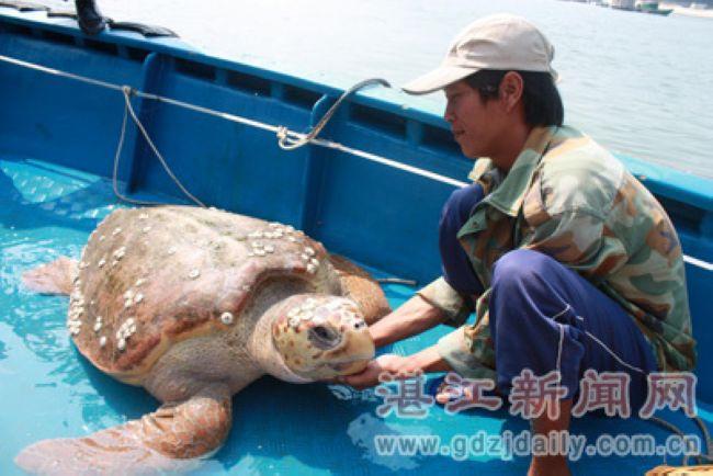 当天上午9时许,记者接到报料称,江洪港有一艘渔船捕获一只重达300多斤的海龟。这只海龟放在一艘快艇的甲板上,尖尖的嘴巴像老鹰,龟甲由13片大小形状不一的甲片组成,前肢如桨,后肢较小。有许多蚝壳寄生在龟甲上,分布如七星斗,龟甲两侧生着海草和海苔。有工作人员撬开海龟的嘴巴为它喂水时,记者见到它的嘴巴满布青苔,里面没有门牙、犬牙、前臼齿,只有几颗发赤的后臼齿。据江洪渔政中队工作人员介绍,根据这只海龟的龟壳纹理、颜色等体貌特征,初步断定它为国家二级保护动物玳瑁。经测量,这只玳瑁重达300多斤,长